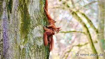 Tierschutz : Wenn Eichhörnchen in Strausberg flügge werden – was jeder für ihren Schutz tun kann - moz.de