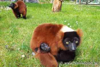 """Van deze bedreigde diersoort zijn er nog amper enkele tientallen in het wild, maar Bellewaerde kon er al twee kweken in een jaar: """"Het gezin stelt het zeer goed"""" - Het Nieuwsblad"""
