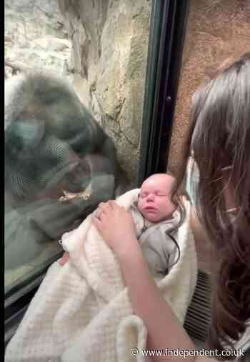 Mom and gorilla bond over babies at zoo