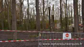 Coudekerque-Branche : pourquoi fallait-il couper ces arbres ? - Le Phare dunkerquois