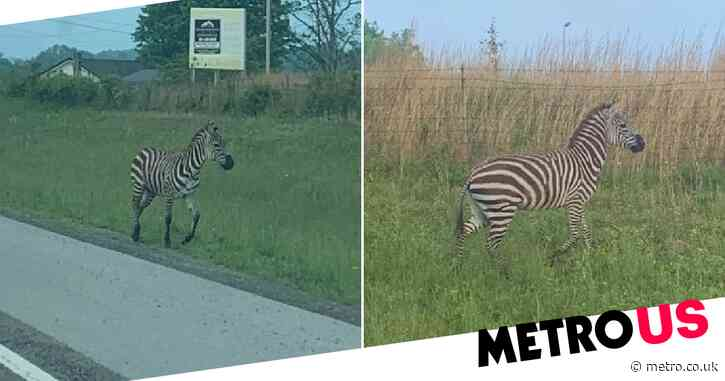Police Taser 'mad' zebra on the loose near school