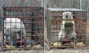 Polar bear that strayed 675 MILES from its habitat across Russia is finally captured