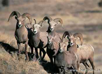 Alberta government knew bighorn sheep contaminated with coal mine selenium: scientist