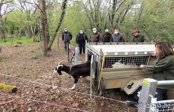 Vierbeinige Landschaftspfleger nehmen an der Munterley in Gerolstein ihre Arbeit auf - lokalo.de