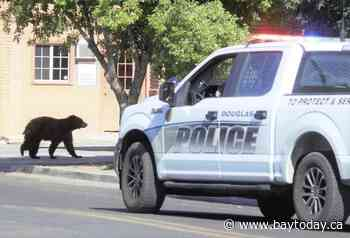 Bear has close call on utility poles in Arizona border city