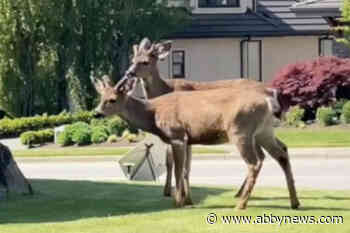 VIDEO: Pair of deer explore Abbotsford neighbourhood