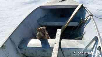 Breakup season leads to double dog rescue in Hay River - Cabin Radio