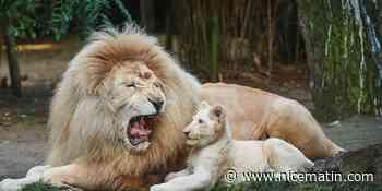 Jabu, l'emblématique lion blanc du zoo de la Flèche est mort