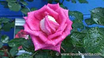 El arte de cultivar rosas en casa - La Vanguardia