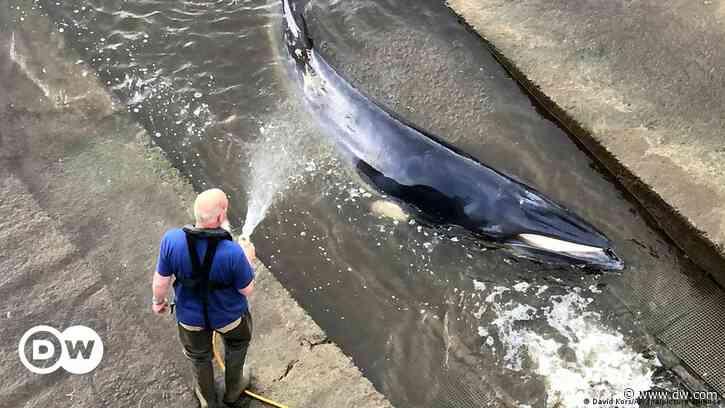 Sacrifican a ballena varada y liberada en el Támesis de Londres - DW (Español)