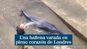VIDEO | Rescatan a ballena varada en Río Támesis - La Nación (Chile)
