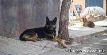 Tiene Guadalupe 40 mil perros callejeros - Imagen de Zacatecas, el periódico de los zacatecanos
