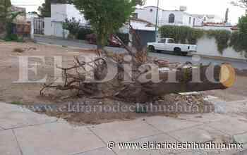 Cae árbol de unos 79 años por el Santuario de Guadalupe - El Diario de Chihuahua