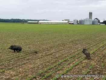 Input sought on strategy to control wild pigs - Simcoe Reformer