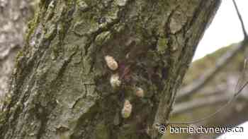 County of Simcoe Foresrty says the region could see the highest number of invasive gypsy moths in nearly 30 years. - CTV Toronto