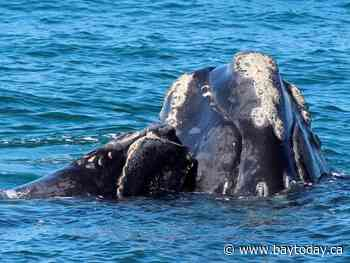 Focus on helping right whales survive, not assigning blame: Canadian official