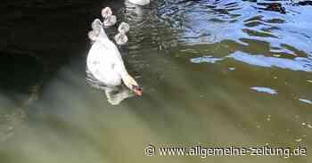 Schwanenfamilie in Bad Kreuznach aus Flutgraben befreit - Allgemeine Zeitung