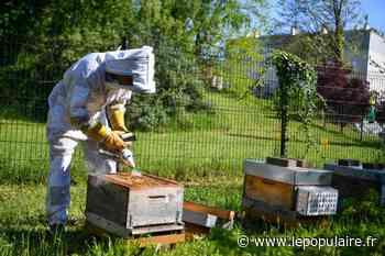 Environnement - À Limoges, les abeilles butinent aussi à deux pas des grands boulevards - lepopulaire.fr