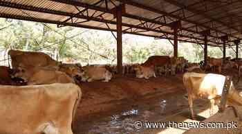 Over 100 animals stolen from Karachi cattle farm - The News International