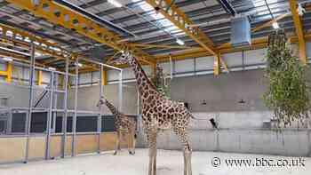 Giraffes return to Edinburgh Zoo after 15 years