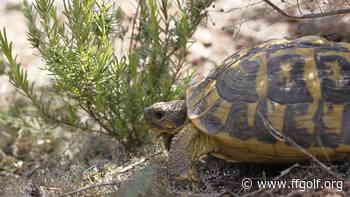 Faune & Flore : À Vidauban, la tortue d'Hermann chemine, à son allure, vers la sécurité - Fédération Française de Golf