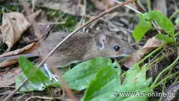 Australischer Bundesstaat kämpft gegen verheerende Mäuseplage