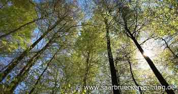 Zum Tag des Baumes wurden auch in Schmelz Stechpalmen eingepflanzt - Saarbrücker Zeitung