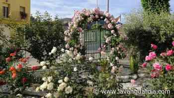 El rosal centenario de Benifallet - La Vanguardia
