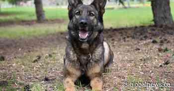 Police dog helps nab suspect in Portage la Prairie carjacking - Global News