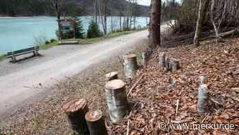 Baumfällungen am Walchensee spalten - Merkur Online