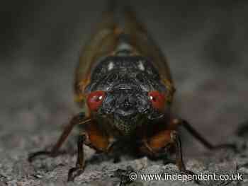 The cicadas are coming! Looming 'Brood X' swarm forces posh DC wine bar to close