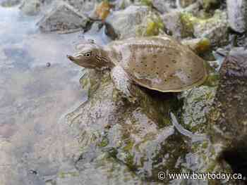 Habitat for endangered spiny softshell turtle protected southeast of Montreal