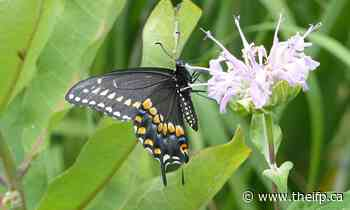 Butterfly Blitz encourages Halton Hills residents to take part in project to monitor health of environment - theifp.ca