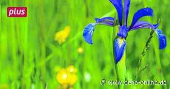 Naturschutz aus der Luft in Riedstadt - Echo Online