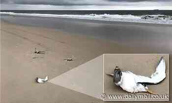 Hunt for cruel tourist who 'lined up and mowed down' 13 birds as they frolicked on a beach