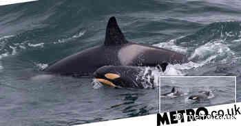 Scotland: Newborn orca calf seen swimming with mum off coast of Caithness - Metro.co.uk