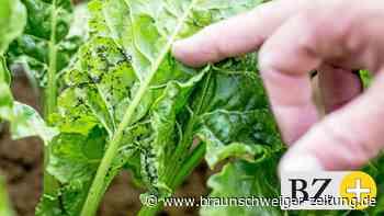 Streit um Pflanzenschutzmittel beim Rübenanbau