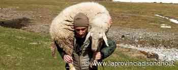 «Curiamo le pecore e vogliamo salvarle Non siamo sciacalli» - La Provincia di Sondrio