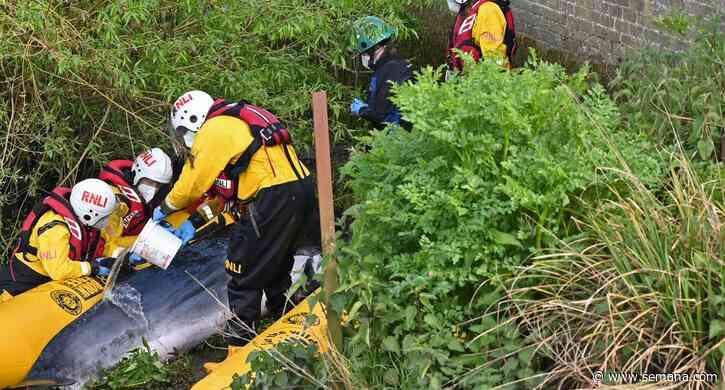 Una joven ballena fue sacrificada tras quedar atrapada en el río Támesis, cerca de Londres - Semana