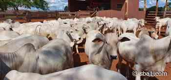 31º Leilão do Fazendeiro oferta mil bezerros Nelore hoje no Canal do Boi - SBA1 | Sistema Brasileiro do Agronegócio - SBA - Sistema Brasileiro do Agronegócio