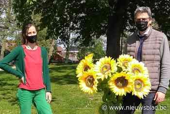 Zoutleeuw wordt stad van de zonnebloemen