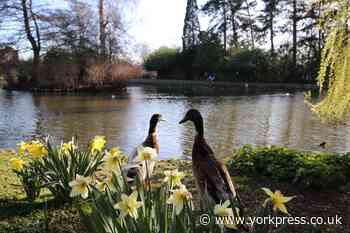 Chonky Boi: University of York student on campus duck and Long Boi companion