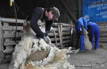 Von Winter-Wolle befreit: Die Schafschur auf dem Perl-Hof im Video - Passauer Neue Presse