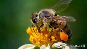 Giornata mondiale delle api a Negrar di Valpolicella, San Pietro in Cariano e Fumane - VeronaSera