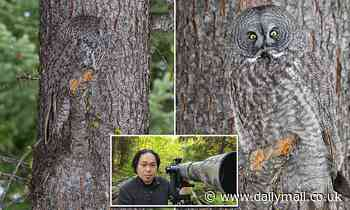 Amateur photographer spots Great Grey Owl as it blends perfectly into the bark of a tree