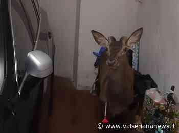 Recuperato un cervo a spasso per Bergamo, liberato sul Misma - Valseriana News