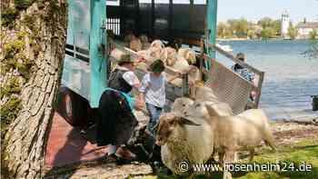 Schafe schippern über den Chiemsee: Beschickung der Krautinsel