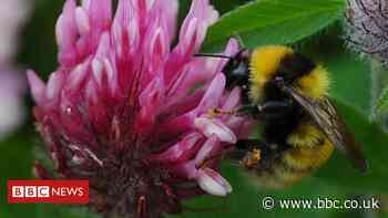 Caught by the buzz: Saving bumblebees is 'the best job'