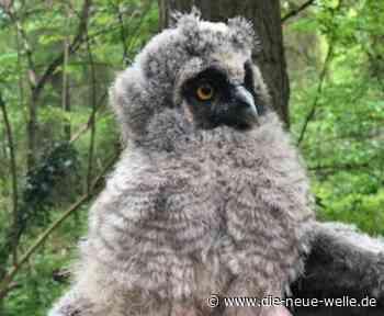 Edenkoben: Küken besucht Eulenkindergarten nach Sturz aus dem Nest - die neue welle