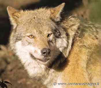 Faenza, si espandono lupi e cinghiali - Corriere Romagna